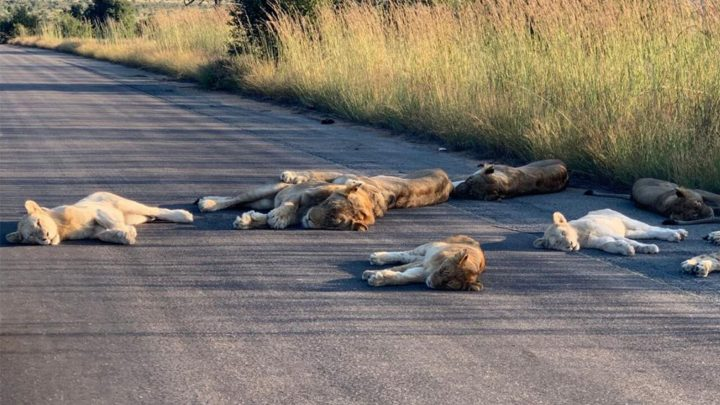 Lions-KNP-3